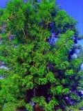 Árbol de Neem Fotografía de archivo