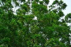 Árbol de Neem en el viento Foto de archivo libre de regalías