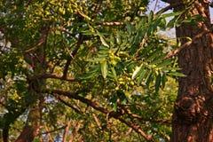 Árbol de Neem o lila india, uso del extracto de la fruta como insecticida Imagen de archivo libre de regalías