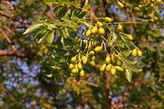 Árbol de Neem o lila india, uso del extracto de la fruta como insecticida Imágenes de archivo libres de regalías