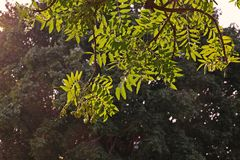 Árbol de Neem o lila india, uso del extracto de la fruta como insecticida Fotos de archivo