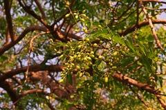 Árbol de Neem o lila india, uso del extracto de la fruta como insecticida Foto de archivo libre de regalías