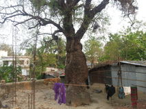 Árbol de Neem Vhairob Para, Meherpur Imagen de archivo