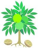 Árbol de nuez Foto de archivo libre de regalías