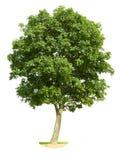 Árbol de nuez aislado Fotos de archivo
