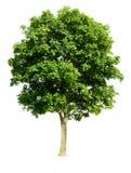 Árbol de nuez aislado Imágenes de archivo libres de regalías
