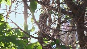 Árbol de nuez con las hojas que mueven encendido llamaradas del viento y del sol metrajes