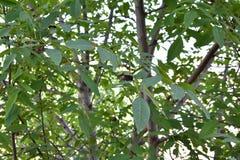 árbol de nuez en el verano imagenes de archivo