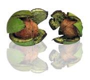 Árbol de nuez - juglans regia Imagenes de archivo