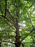 Árbol de nuez moscada moscada fotografía de archivo libre de regalías