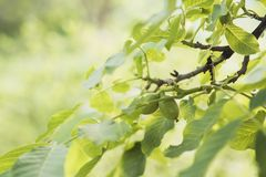 Árbol de nuez por verano fotos de archivo