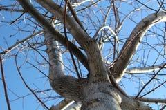 Árbol de nuez y cielo azul de la primavera Imagen de archivo libre de regalías