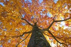 Árbol de olmo del otoño con el cielo arriba Fotografía de archivo