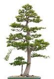 Árbol de olmo elegante de los bonsais en el fondo blanco Fotografía de archivo libre de regalías