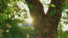 Árbol de olmo en luz de la puesta del sol del centelleo con sus ramitas que se mueven con el viento almacen de metraje de vídeo
