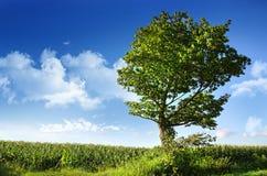 Árbol de olmo grande cerca del campo de maíz Foto de archivo libre de regalías