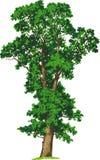 Árbol de olmo. Vector Imagen de archivo libre de regalías