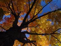 Árbol de oro Fotos de archivo libres de regalías