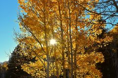 Árbol de oro de Aspen Fotografía de archivo