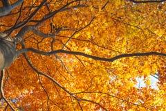 Árbol de oro del otoño Imagen de archivo libre de regalías