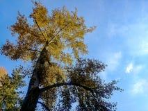 Árbol de oro grande contra el cielo azul foto de archivo