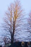 Árbol de oro sin las hojas fotos de archivo