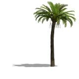 Árbol de Palme Foto de archivo libre de regalías