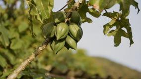 Árbol de papaya
