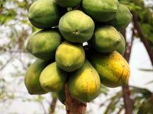 Árbol de papaya Fotos de archivo
