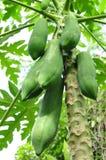 Árbol de papaya Fotografía de archivo