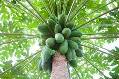 Árbol de papaya imagenes de archivo