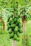 Árbol de papaya Fotografía de archivo libre de regalías