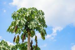 Árbol de papaya Imagen de archivo libre de regalías