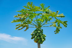 Árbol de papaya con el manojo de frutas en fondo del cielo azul imagen de archivo