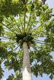 Árbol de papaya con la fruta Imagen de archivo