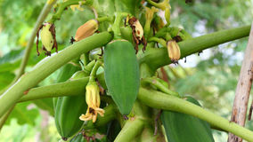 Árbol de papaya con las frutas Fotografía de archivo libre de regalías