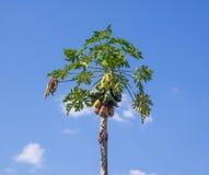 Árbol de papaya en el cielo azul Fotografía de archivo