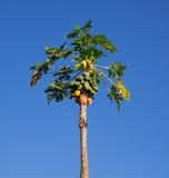 Árbol de papaya en el cielo azul Imagen de archivo