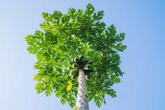 Árbol de papaya en fondo del cielo azul Fotografía de archivo libre de regalías