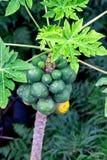 Árbol de papaya que crece con las porciones de frutas en la isla de Oahu foto de archivo libre de regalías