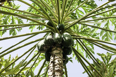 Árbol de papaya verde Imagen de archivo