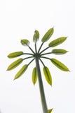 Árbol de paraguas Fotografía de archivo libre de regalías