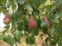 Árbol de pera Foto de archivo libre de regalías