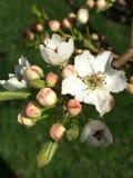 Árbol de pera Imagenes de archivo