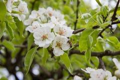 Árbol de pera floreciente Fotos de archivo libres de regalías