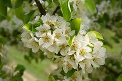 Árbol de pera floreciente Foto de archivo