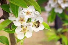 Árbol de pera floreciente y polen tomado abeja Foto de archivo libre de regalías