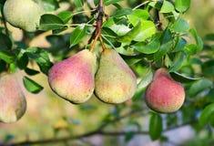 Árbol de pera Frutas frescas Imagen de archivo