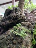 Árbol de piedra de los bonsais Fotografía de archivo libre de regalías