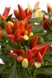 Árbol de pimienta Imagen de archivo libre de regalías